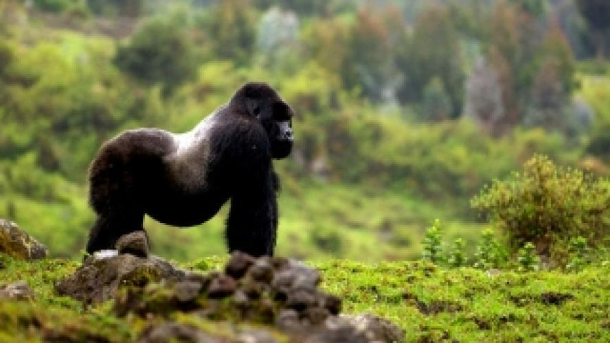 Mountain Gorilla next episode air date poster