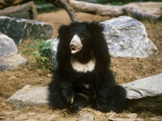 Sloth Bear next episode air date poster