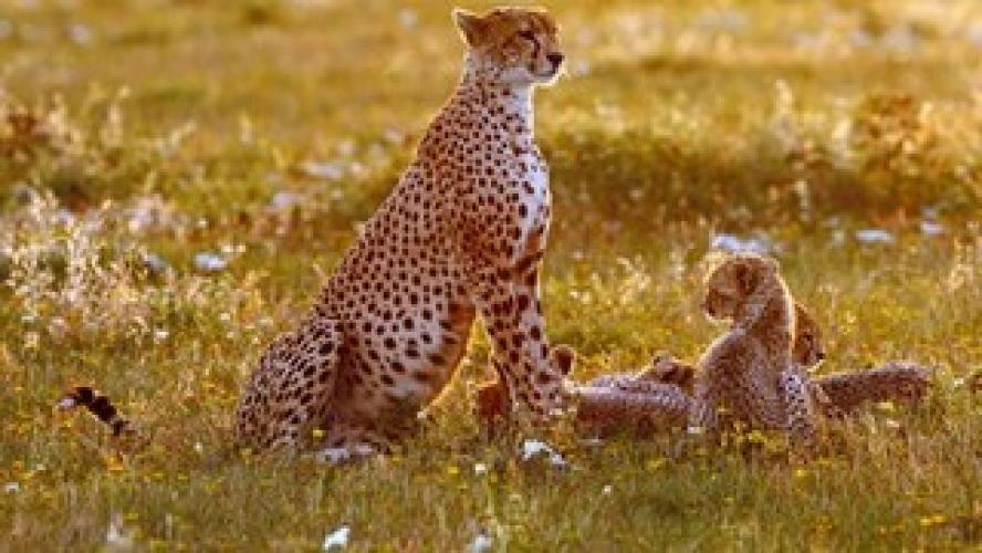 Cheetah: Fatal Instinct next episode air date poster