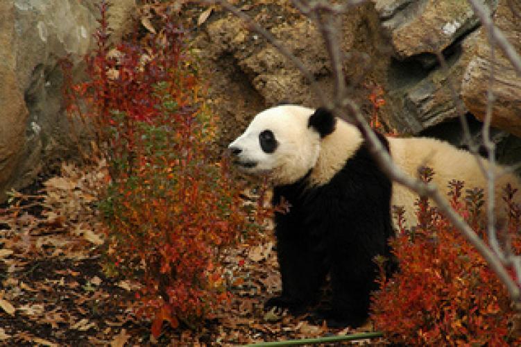 Pandas Wild Move next episode air date poster