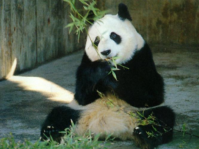 Giant Pandas next episode air date poster