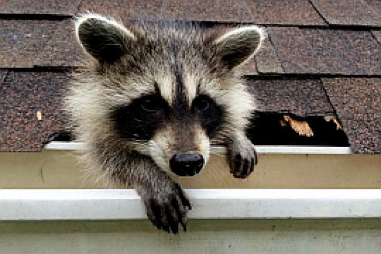 Raccoon: Backyard Bandit next episode air date poster