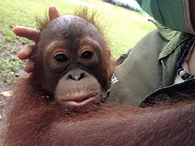 Operation Orangutan next episode air date poster