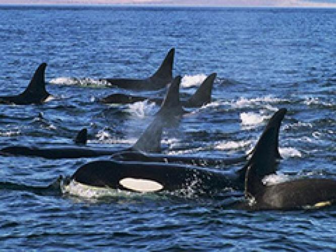 Attack of the Killer Whales: Orcas vs. Grays next episode air date poster