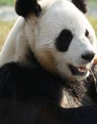 Giant Pandas Go Wild next episode air date poster
