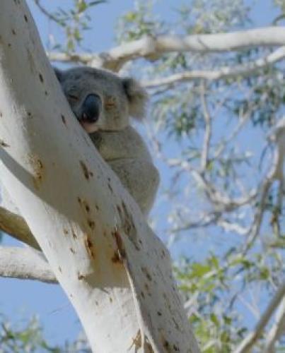 Secret Life of the Koala next episode air date poster